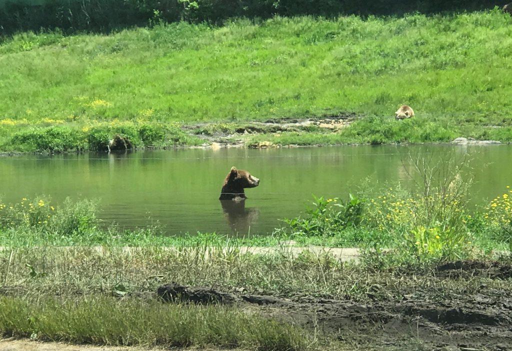 European Brown Bear at Six Flags Great Adventure Wild Safari 2