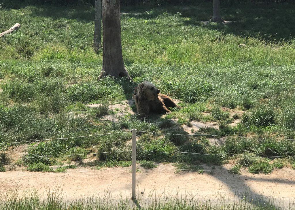 European Brown Bear at Six Flags Great Adventure Wild Safari