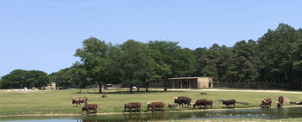 Red Ankole Cattle at Six Flags Great Adventure Wild Safari