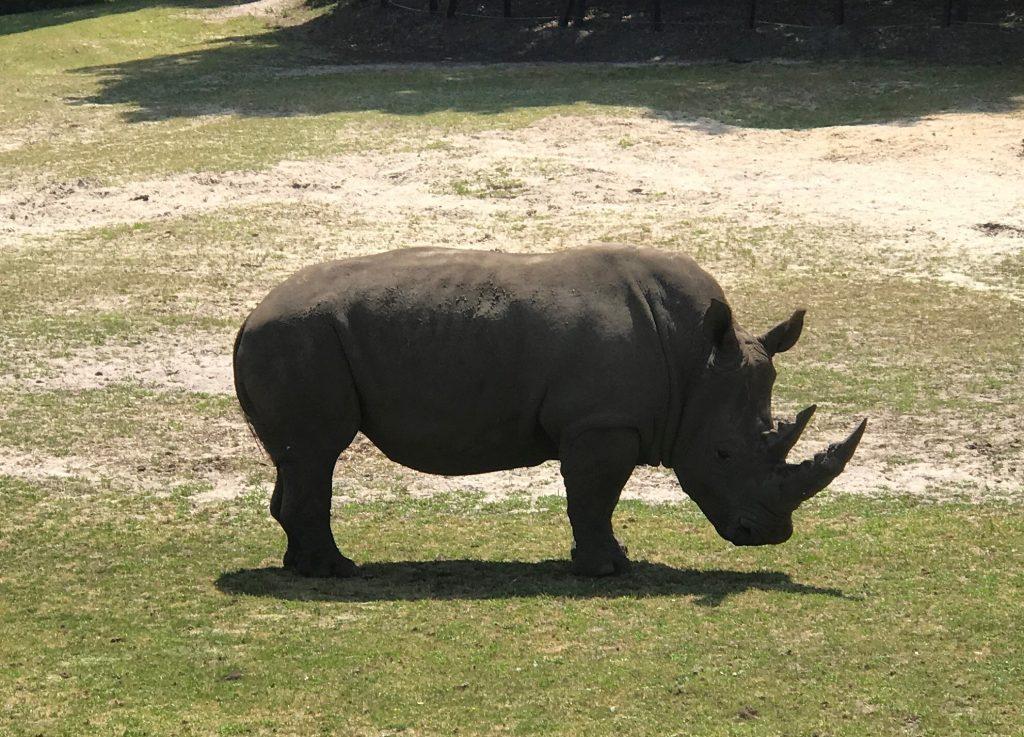 White Rhinoceros at Six Flags Great Adventure Wild Safari