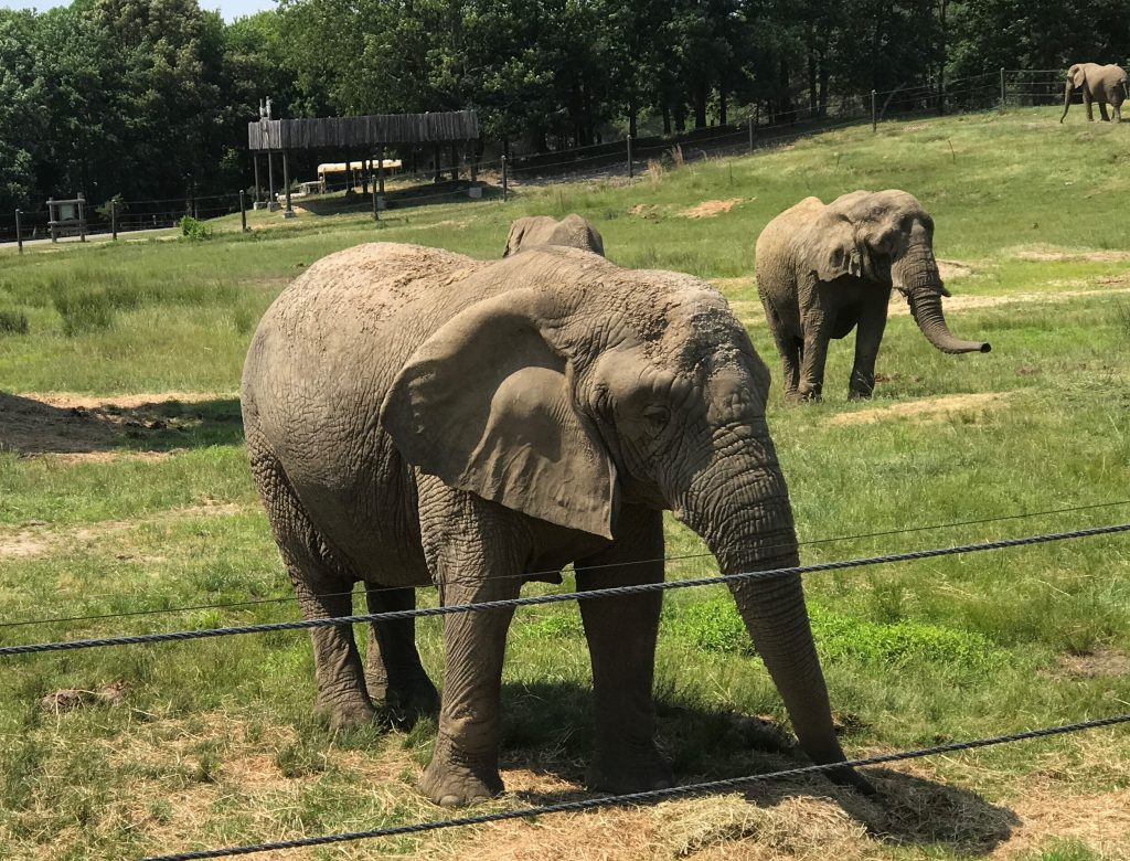 African Elephant at Six Flags Great Adventure Wild Safari