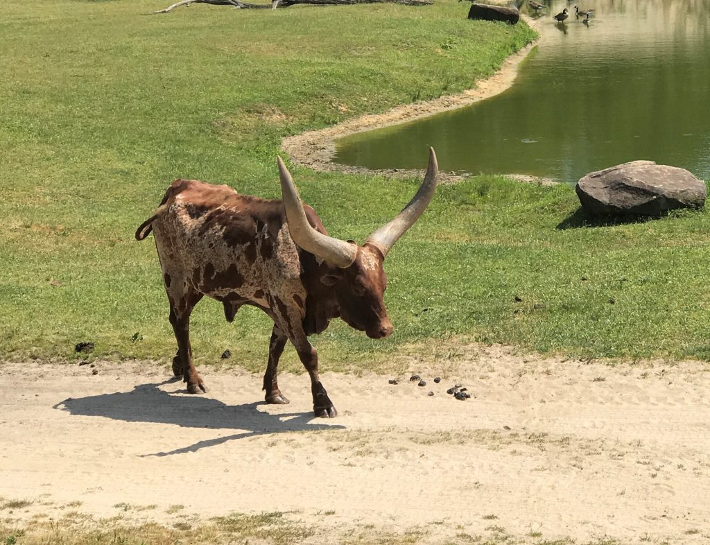 Red Ankole Cattle at Six Flags Great Adventure Wild Safari 2