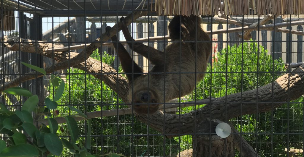 Two-Toed Sloth in Camp Aventura at Six Flags Great Adventure Wild Safari