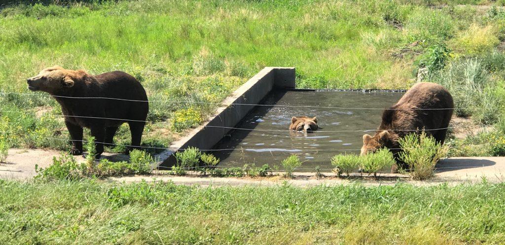 European Brown Bears at Six Flags Great Adventure Wild Safari